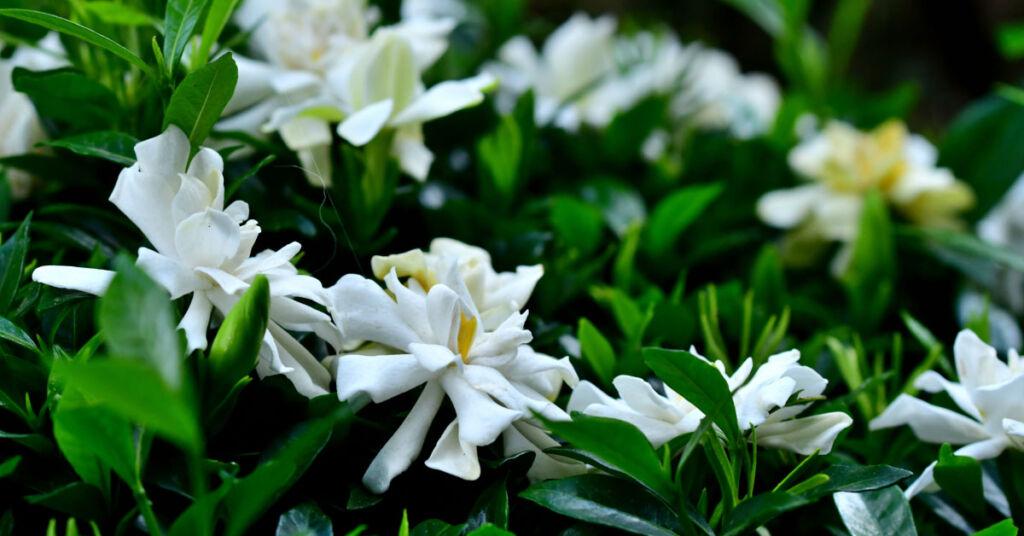 Gardenia flowers in bloom