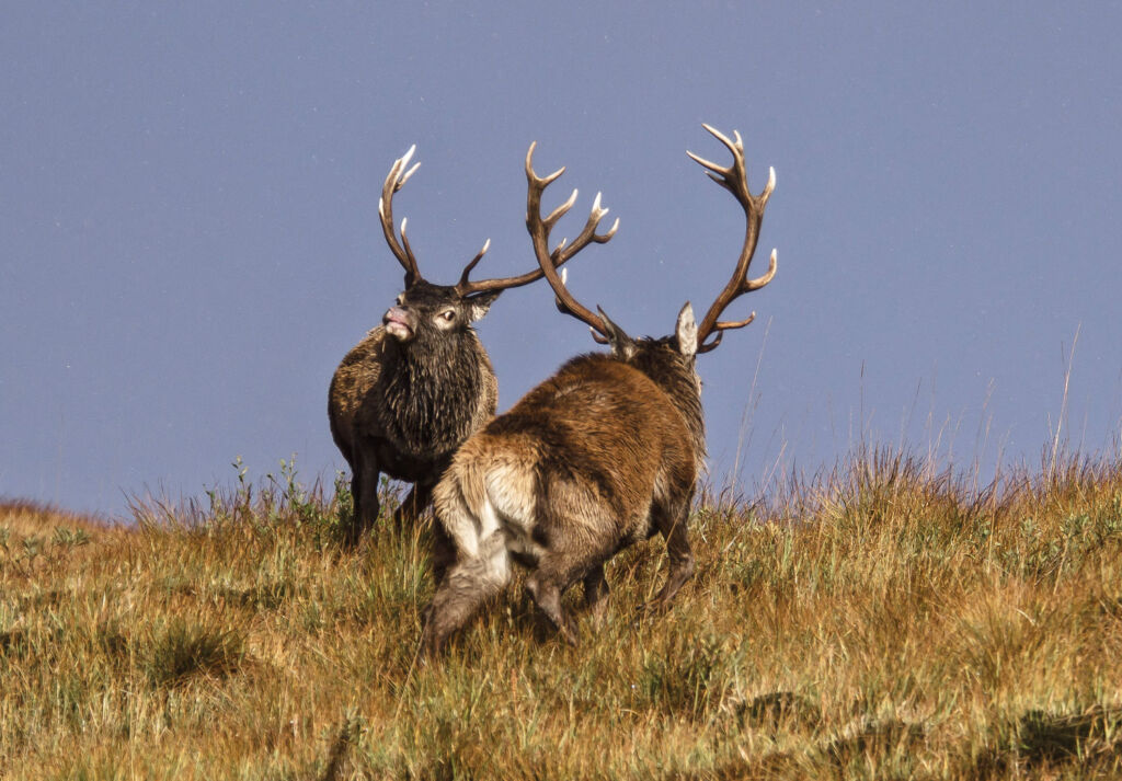 Two male stags comparing the size of their horns