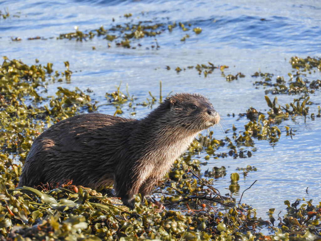 An otter playing in seaweed by the sea