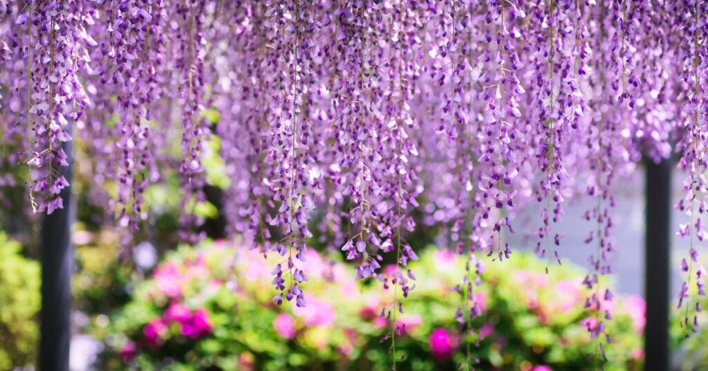 A beautiful bloom of Wisteria