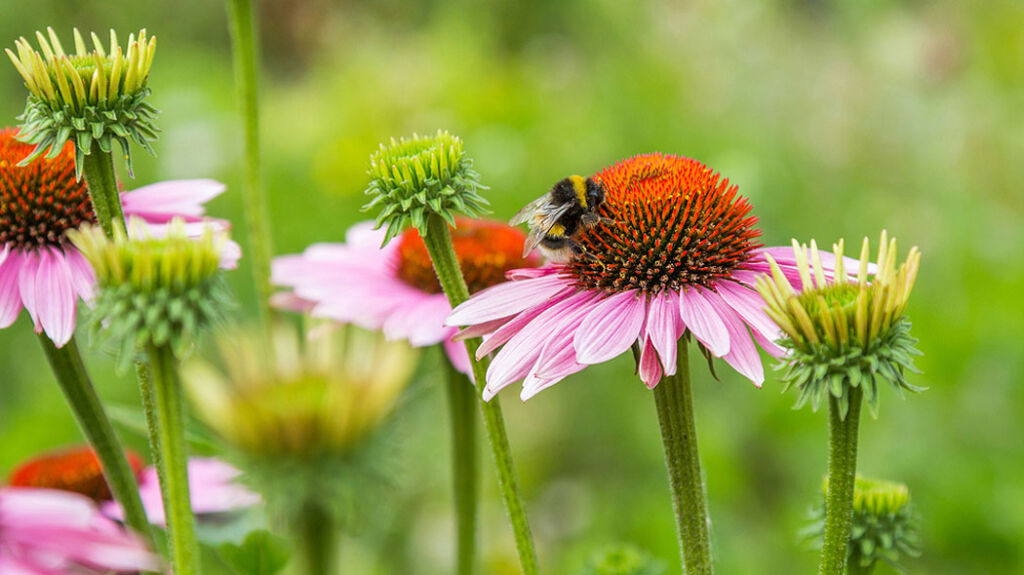 A bee on a wildflower in the garden