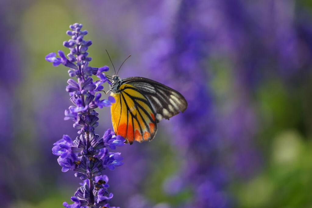 A butterly feeding on some Lavender