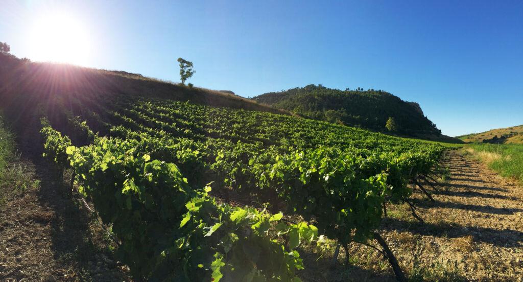 Salvatore's family vineyard