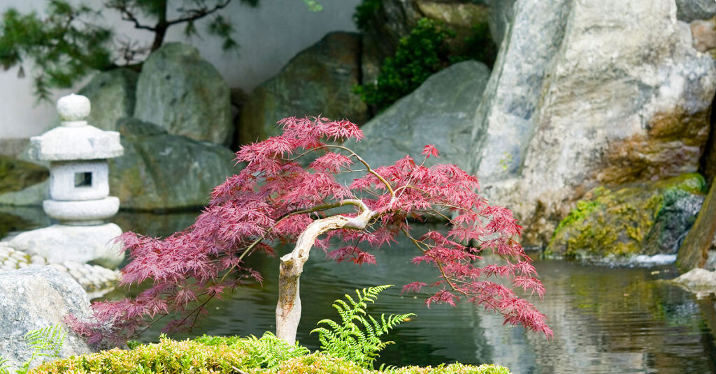 A beautiful Acer planted next to a stone water feature