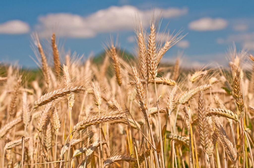 A field of Rye Grain