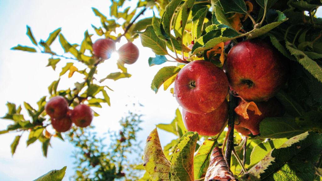 Apples being grown in a community garden