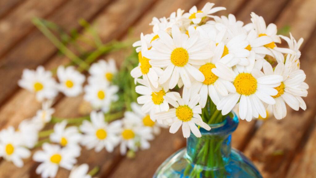 A vase of freshly cut daisies