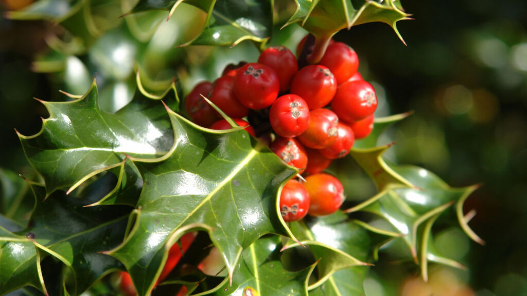 Holly with some bright red berries for December