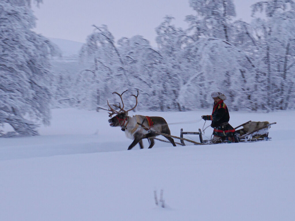 Reindeer sledding in Sweden
