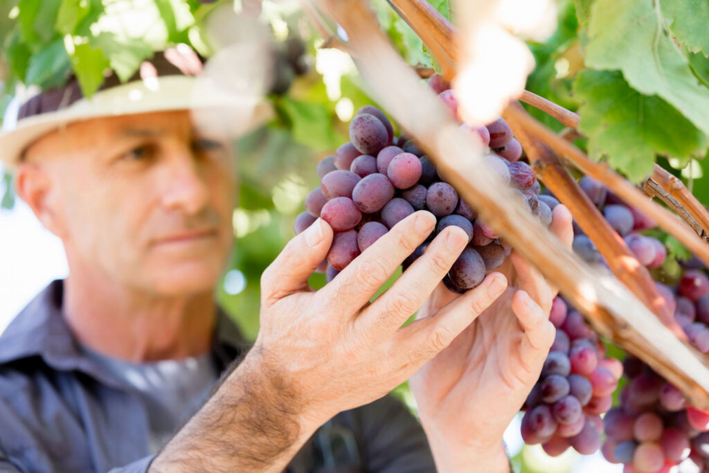 A grower checking the quality on the grapes on the vines
