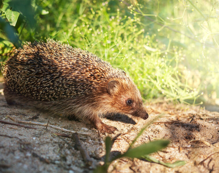 Help Hedgehogs this Bonfire Night by Giving them 'Room to Roam'