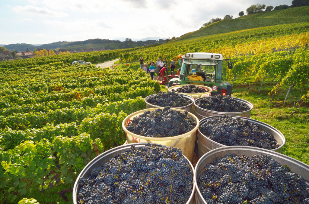 Local villagers harvesting grapes for wine production