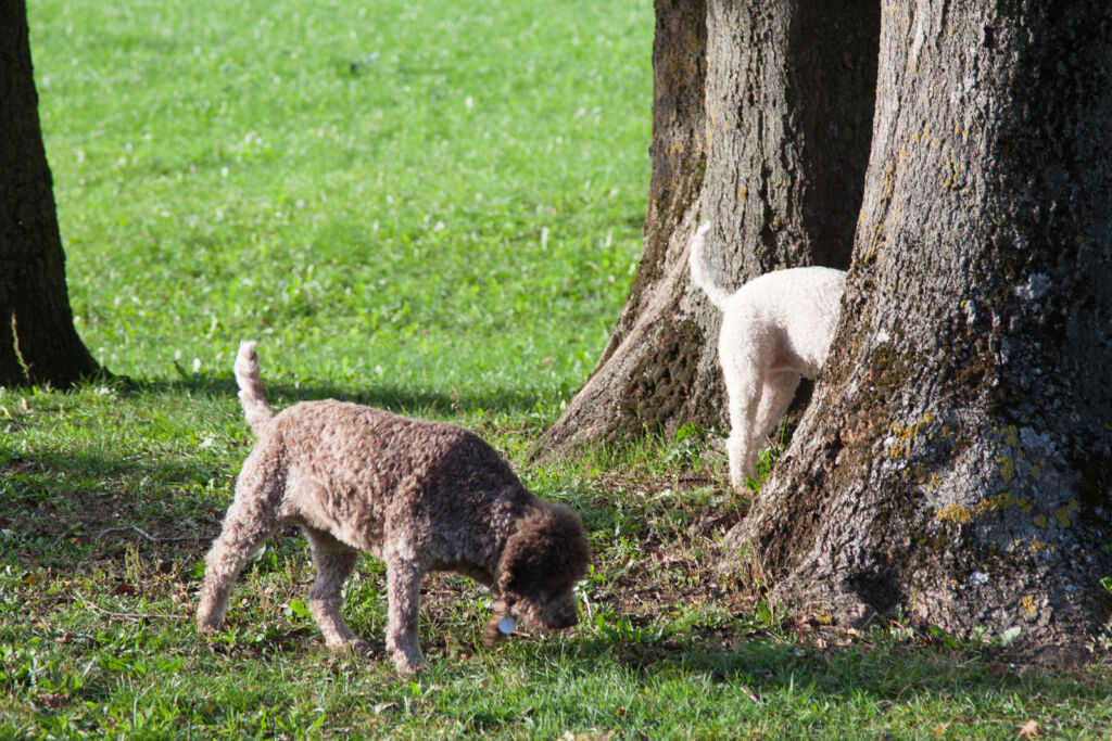 White truffle hunting with a couple of dogs
